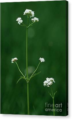 Marsh Valerian Flowers (valerian Dioica) Canvas Print by Bob Gibbons