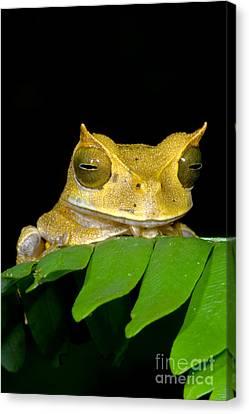 Marsupial Frog Canvas Print by Dante Fenolio
