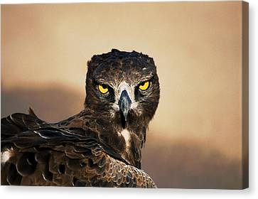 Martial Eagle Portrait Canvas Print