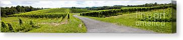 Maryland Vineyard Panorama Canvas Print by Thomas Marchessault