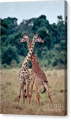 Masai Giraffes Necking Canvas Print by Greg Dimijian