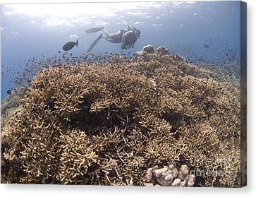 Masses Of Staghorn Coral, Papua New Canvas Print by Steve Jones