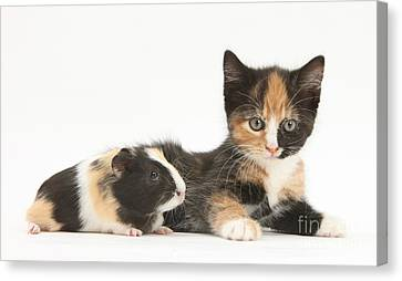 Matching Kitten & Guinea Pig Canvas Print by Mark Taylor