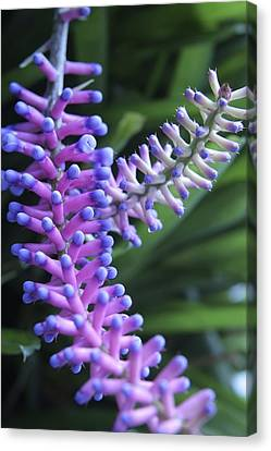 Matchsticks Bromeliad (aechmea Sp.) Canvas Print