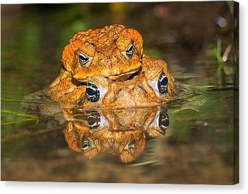 Frog Canvas Print - Mating Cane Toads by Johan Larson