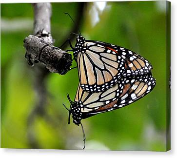 Mating Monarchs Canvas Print by Marty Koch