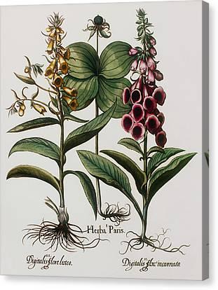 Medicinal Plants Canvas Print by Georgette Douwma