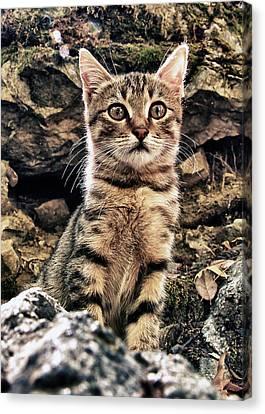 Mediterranean Wild Babe Cat Canvas Print by Stelios Kleanthous