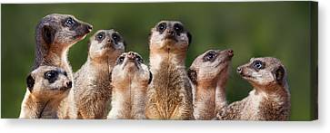 Meerkat Mob Canvas Print by Julie L Hoddinott