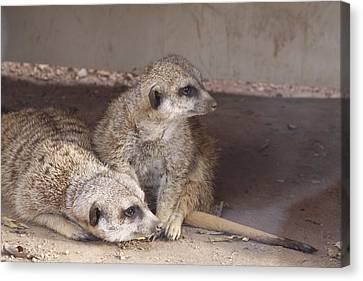 Meerkats Canvas Print by Linda A Waterhouse