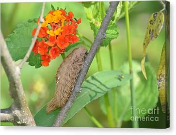 Puss Caterpillar Canvas Print - Meet The Puss Moth Caterpillar by Kathy Gibbons