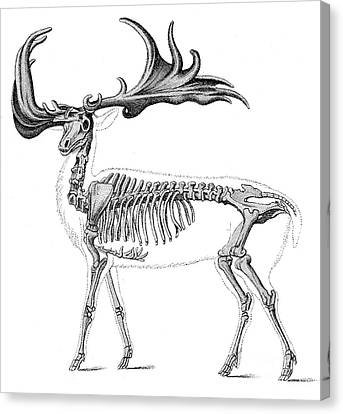 Megaloceros, Cenozoic Mammal Canvas Print by Science Source