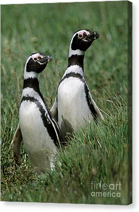 Canvas Print featuring the photograph Megellanic Penguin Couple - Patagonia by Craig Lovell