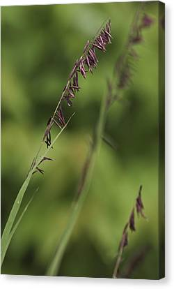Canvas Print featuring the photograph Melica by Trevor Chriss