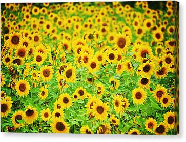 Mellow Yello Canvas Print