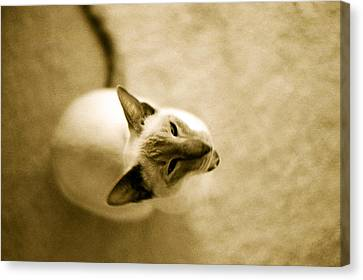 Canvas Print featuring the photograph Meow by Lenny Carter