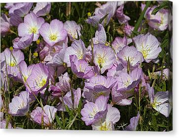 Merry Pink Evening Primrose Wildflowers Canvas Print
