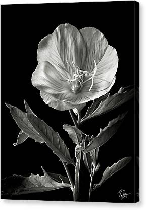 Canvas Print featuring the photograph Mexican Evening Primrose In Black And White by Endre Balogh
