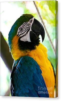 Mexican Parrot Canvas Print by Natalia Babanova