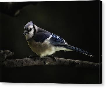 Midnight Light Blue Jay Canvas Print by Bill Tiepelman