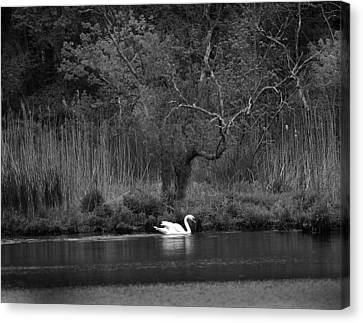 Midnight Swan Canvas Print