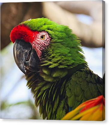 Nature Study Canvas Print - Military Macaw Parrot by Adam Romanowicz