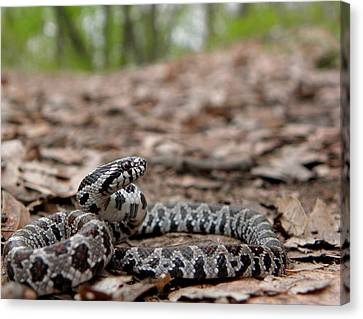 Milk Snake Canvas Print by Griffin Harris