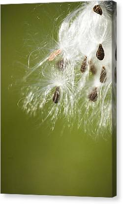 Canvas Print featuring the photograph Milk Weed Seed by Lisa Missenda