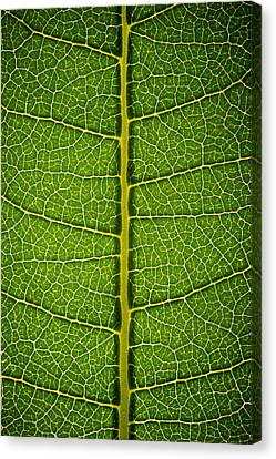 Milkweed Leaf Canvas Print by Steve Gadomski