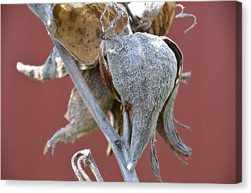 Milkweed Canvas Print by Randy J Heath
