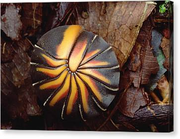 Millipede Rolled Into Ball Position Canvas Print by Mark Moffett