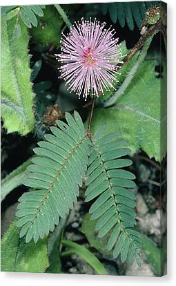 Mimosa Pudica. Canvas Print by Bob Gibbons