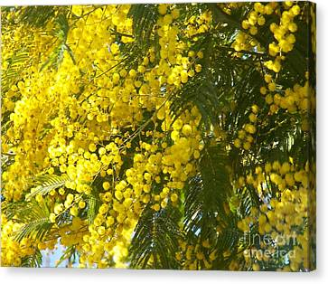 Canvas Print featuring the photograph Mimosas by Sylvie Leandre