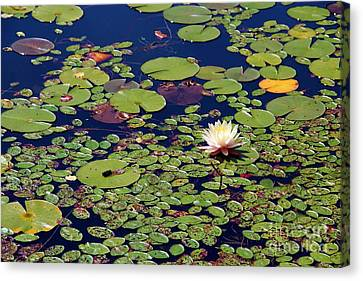 Mini Lily Pads Canvas Print by Pauline Ross