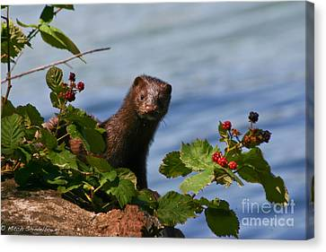 Canvas Print featuring the photograph Mink In Blackberries. by Mitch Shindelbower