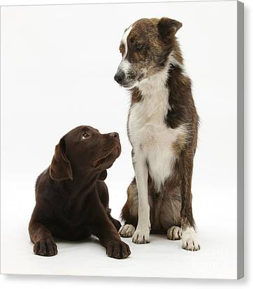 Mixed Breed And Chocolate Lab Canvas Print by Mark Taylor