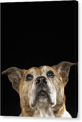 Mixed Breed Dog Looking Up Canvas Print by Ryan McVay