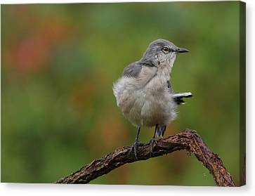 Canvas Print featuring the photograph Mocking Bird Perched In The Wind by Daniel Reed