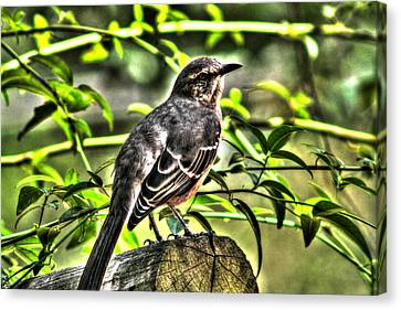 Mocking Bird Picture 2 Canvas Print by Ester  Rogers