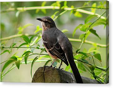 Mocking Bird Picture 3 Canvas Print by Ester  Rogers