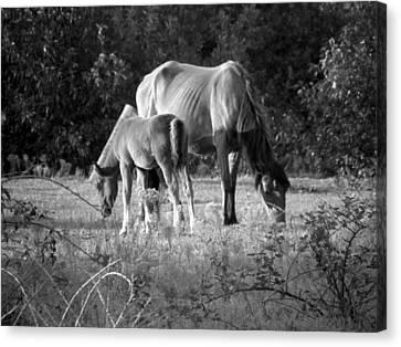 Mom And Foal Grazing At Sunset Canvas Print by Kim Galluzzo Wozniak