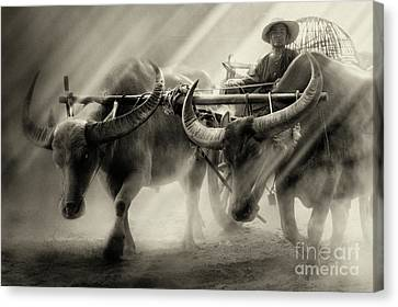 Cattle Run Canvas Print - Moment Of Life by Buchachon Petthanya