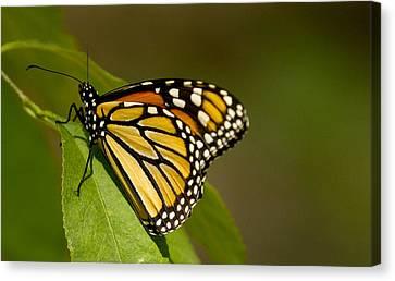 Monarch Beauty Canvas Print by Dean Bennett