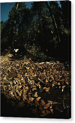 Monarch Butterflies Draw Water, A Sign Canvas Print by Bianca Lavies