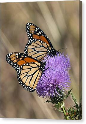Canvas Print featuring the photograph Monarch Butterflies On Field Thistle Din162 by Gerry Gantt