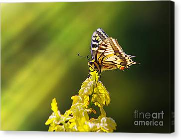 Monarch Butterfly Canvas Print by Carlos Caetano