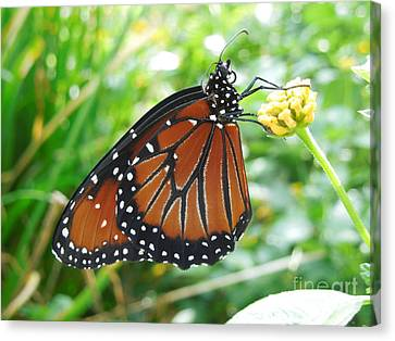Monarch Butterfly Canvas Print by Chad and Stacey Hall