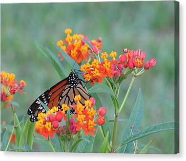 Monarch Butterfly Closeup Canvas Print