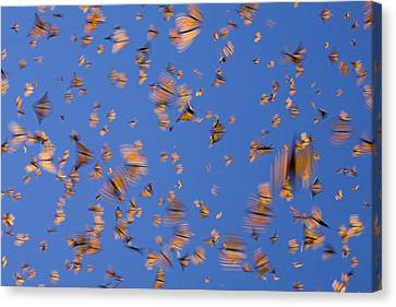 Butterfly In Motion Canvas Print - Monarch Butterfly Frenzy by Ingo Arndt