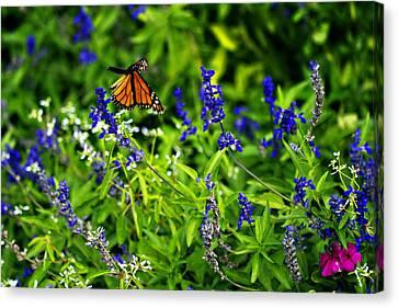 Monarch Butterfly In Flight Canvas Print by Douglas Barnard